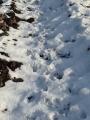 Polowanie Styczeń 2016 Na pokocie 14 dzików i lis
